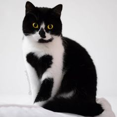 A Beautiful British Shorthair Tuxedo Cat Who Wears a Furry Heart on the Outside of Her Chest