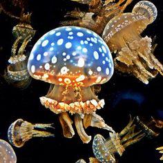 Jellies, Monterey Bay Aquarium