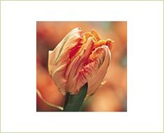 Parrott Salmon - Tulips - Flowers and Fillers - Flowers by category | Sierra Flower Finder