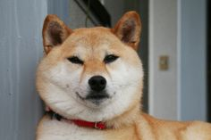 shiba -- i know i should adopt from shelters but these dogs r so cuuute