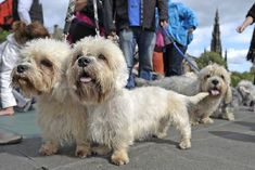 It is one of the rarest pedigree breeds of terrier in the UK, with just 17 puppies registered in Scotland by the Kennel Club in Dandie Dinmont Terrier, Terrier Dog Breeds, Terriers, Pet Day, Family Dogs, Cute Dogs, Awesome Dogs, Felt Animals, Dog Life