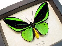 Real Framed Emerald Green Ornithoptera Priamus Male Birdwing Butterfly 584
