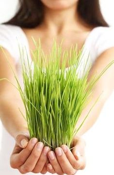 Wheatgrass can be made into a delicious and nutritious juice that is made up of active enzymes, nutrients and minerals. drinking wheatgrass daily and mixing it with a fruit juice for weight loss can improve your level of health tremendously. Mixed Berry Smoothie, Cherry Smoothie, Easy Weight Loss, Healthy Weight Loss, Fruit Quotes, Alternative Health Care, Detox Juice Cleanse, Weight Loss Smoothie Recipes, Juicer Recipes