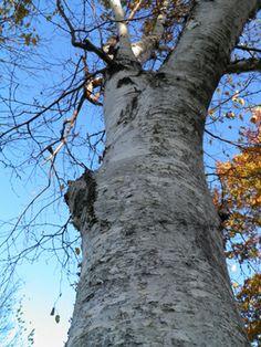 Bengay?! No Way, Use Birch!