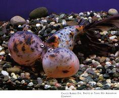 Calico Bubble Eye Goldfish. Fish Aquariums, Aquarium Fish, Bubble Eye Goldfish, Cool Fish, Types Of Gold, Underwater Photography, Exotic, Bubbles, Creatures