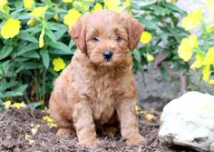 Boots | Keystone Puppies: Puppies for Sale | Health Guaranteed #mini #goldendoodle #keystonepuppies