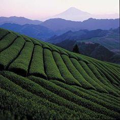 Tea Fields // Shizuoka, Japan.