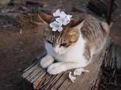【画像】猫と桜は合うなぁー : 〓 ねこメモ 〓