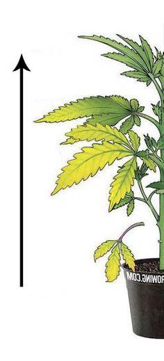 Esquema de Carencia Nitrogeno marihuana por Marijuanagrowing.com
