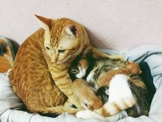 Father Cat Supports Mom Cat Giving Birth, Wins Everyone's Hearts - Cute Kittens Videos Cute Kittens, Cat Having Kittens, Cats And Kittens, Cat Birth, Mama Cat, Cat Memorial, Maneki Neko, Cat Gif, I Love Cats