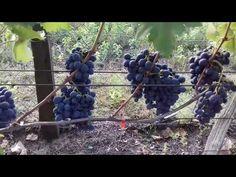 Csemegeszőlőim - Moldova és Teréz - 2019 - YouTube Moldova, Fruit, Youtube, The Fruit, Youtube Movies