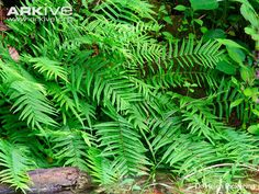 "the brake fern (Pteris vittata)  appears to have it beat for digestive capabilities. ""This plant definitely has a high appetite for arsenic,"" ~ Phytoremediation is the power of plants to decontaminate soil and water"