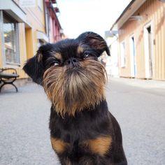Dog Elected Mayor of Small Swedish Town - Griffon Belge