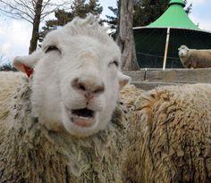 目を細め笑っているような表情に見えるヒツジが神戸市灘区の市立六甲山牧場 その名もスマイルちゃん