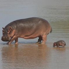 It's insane how cute baby hippos are