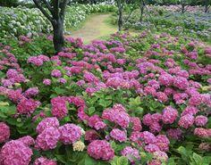 Field of Hydrangeas