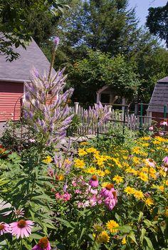 Summer flower perennial garden with Echinacea purpurea purple coneflowers, Heliopsis, Phlox paniculata, Veronicastrum virginicum, barn shed, garage, blue sky on sunny day, picket fence, in lush bloom