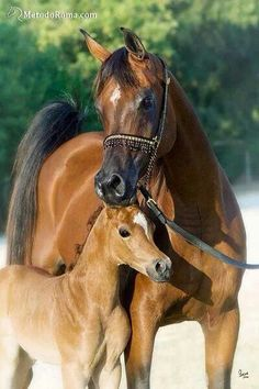 precious mother and baby moment! Egyptian Arabians, Thee Scarlet Lady and Mishaal HP foal. Arabians Ltd in Waco, Texas. Egyptian Arabian Horses, Beautiful Arabian Horses, Majestic Horse, Horse Photos, Horse Pictures, Animal Pictures, Baby Horses, Wild Horses, Animals And Pets
