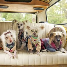 chinese crested backseat                                                                                                                                                      More