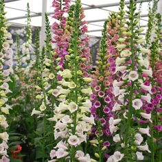 Amazing Foxglove Flowers at #RHSChelsea Flower Show, the perfect plants for a woodland, shady area in the garden.