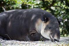 sleeping-tapir-2_medium.jpg (800×533)