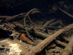 Corydoras duplicareus or Corydoras adolfoi -- in natural environment Glass Aquarium, Aquarium Design, Planted Aquarium, Aquarium Fish, Small Catfish, Biotope Aquarium, Aquarium Accessories, Freshwater Fish, Tropical Fish