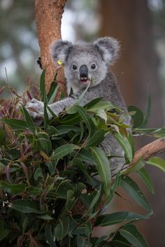 Grey Koala Hanging Out In Its Favorite Tree.