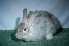 Blue French Angora Rabbit