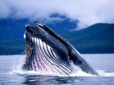 Humpback Whale: Federally Endangered Listing Information, Alaska Department of Fish and Game Orcas, Alaska Wallpaper, Underwater Sea, Wale, Blue Whale, Humpback Whale, Animal Wallpaper, Nature Wallpaper, Mobile Wallpaper