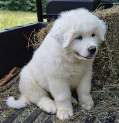This puppy is a Great Pyreenes who will grow up to weigh between 80 and 160 pounds