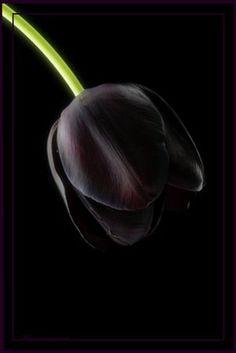 Black Tulip wow negro es definitivamente un color increible