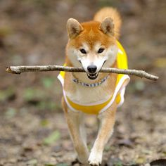 Shiba Inu If you're a Dog Lovers, check out this Dogs collection, you may like it :) Here's link ==> https://www.sunfrog.com/tuanldshirt/dogs #dogs #ilovedogs