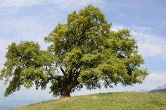 Le chêne de Venon, un arbre perchéPerché au sommet d'une colline, à 617 m d'altitude, ce chêne tricentenaire s'offre une vue plongeante sur la vallée alpine du Grésivaudan. Éminent gardien du val, il veille sur le troupeau de vaches laitières de la ferme de Pressembois. Et sur les nombreux curieux partis en excursion pour approcher ce solide feuillu, connu de toute l'agglomération grenobloise. Le fier végétal a même sa propre page facebook ! Il vient de recevoir le label le 8 avril 2017.