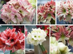 Good day, have a great Friday and enjoy your weekend with our Amaryllis flowers !!  #Amaryllis   #Hippeastrum   #royalcolors #Floral #Flower #Bloom #Beautiful #Amazing #bulbs #keukenhof #Netherlands   #амариллис   #アマリリス   #孤挺花   #amarilis  royalcolors.com   #flowers