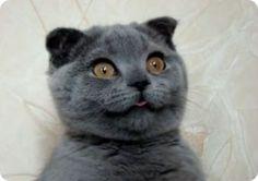 gato azul ruso - Buscar con Google