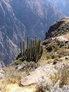Cactus, Colca canyon, Peru