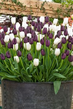 Tulips mixed 'Queen of Night' + 'Snowpeak' purple and white tulip colors together in spring flowering bulbs container garden using old metal tub. LUV the tulips Tulip Colors, Spring Flowering Bulbs, Spring Bulbs, White Tulips, Purple Tulips, Dream Garden, Horticulture, Spring Flowers, Black Flowers