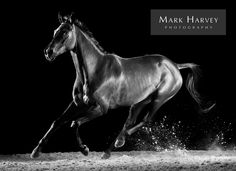 Galloping Black by Mark Harvey  Black & White Photography, Movement, Horses, Art, Uk Horse Photographer, Refined Equine Portraiture.
