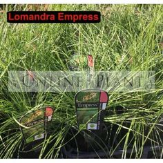 Lomandra Empress is an interesting grass that displays incredibly pendulous, deep emerald green foliage.