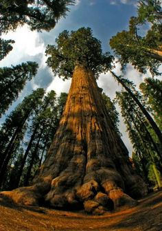 'Sequoia sempervirens' which is called as 'The coast Redwood' is the tallest tree in the world which grows along the coastal area. Find out more. Giant Sequoia Trees, Giant Tree, Big Tree, Tree Tree, Weird Trees, Redwood Forest, Redwood Bonsai, Unique Trees, Old Trees