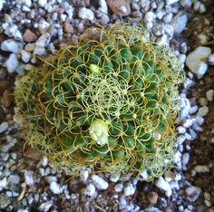 Mammillaria camptotricha cv. marnier-lapostollei della famiglia delle Cactacee
