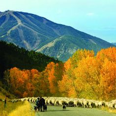 Sun Valley, Idaho---the trailing of the sheep takes place in October, but November is a great time to visit as well.