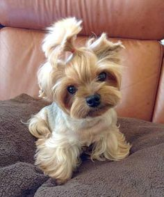 Pony-tail Yorkie - super cute!