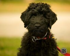 Black Puppy Cute Little Puppies, Cute Dogs, Dogs And Puppies, Dogs 101, Doggies, Terrier Puppies, Terrier Mix, Terriers, Black Russian Terrier