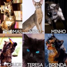 Maze Runner Characters as cats Thomas=Tabby cat (they are incredibly curious) Newt=Abyssinian (long, skinny, and British) Minho=Siamese (very sassy and a no nonsense kind of cat) Chuck=Munchkin kitten (wee little fat kitty) Teresa=Black cat w/blue eyes (fits her description) Brenda=Calico (it reminds me of her in her crank clothes) (I do not own any of these photos) #cats #the maze runner