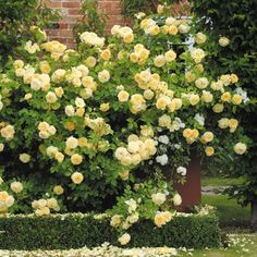 Teasing Georgia Climbing Rose. Love yellow roses.