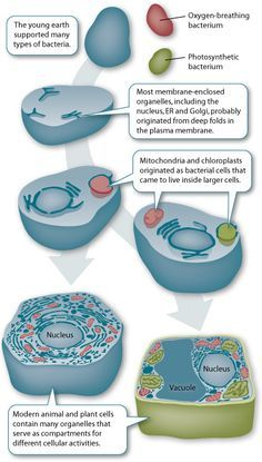 Evolution of the cell
