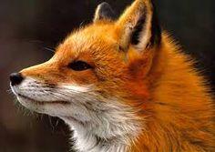Resultado de imagen de zorros salvajes