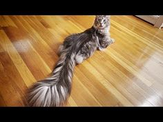 This undated photo provided by Guinness World Records 2018 shows Cygnus, a Silver Maine Coon cat, of Ferndale, Mich. Cygnus is the record holder for the longest tail on a domestic cat (living) at cm inches). (Kevin Scott Ramos/Guinness W Gatos Maine Coon, Chat Maine Coon, Beautiful Cats, Animals Beautiful, Cute Animals, Unique Animals, Fluffy Animals, Cornish Rex, Kitty Cats