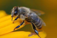 Changes in honeybee behaviour and  biology under the influence of   cellphone radiations    http://abundantharvestapiary.com/wp-content/uploads/2014/02/Sharma-Kumar-study.pdf